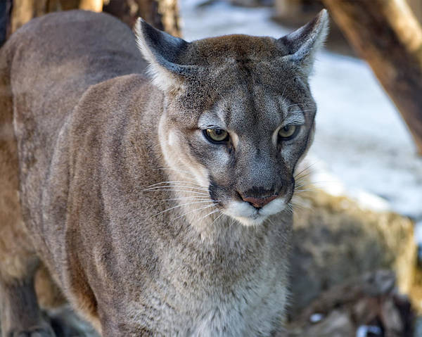 Photograph - A Stunning Mountain Lion by Anthony Murphy