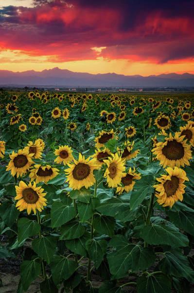 Photograph - A Sunflower Heaven by John De Bord