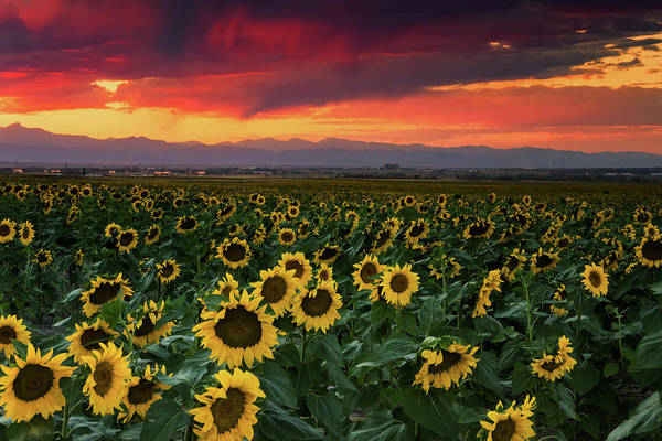 Photograph - A Sunflower Sunset In Colorado    by John De Bord