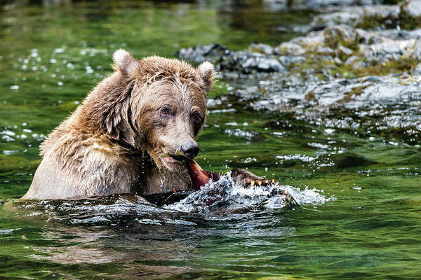 Grizzly Bear Photograph - A Tail Of A Bear Eating A Fish by Ian Stotesbury