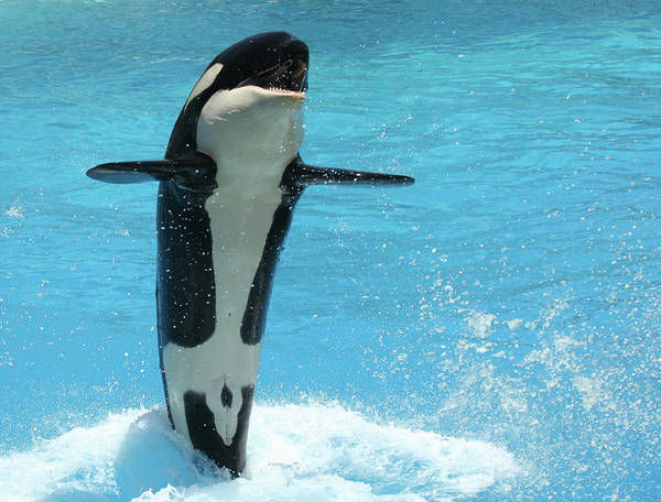 Living Things Photograph - A Tail Walking Orca by Derrick Neill