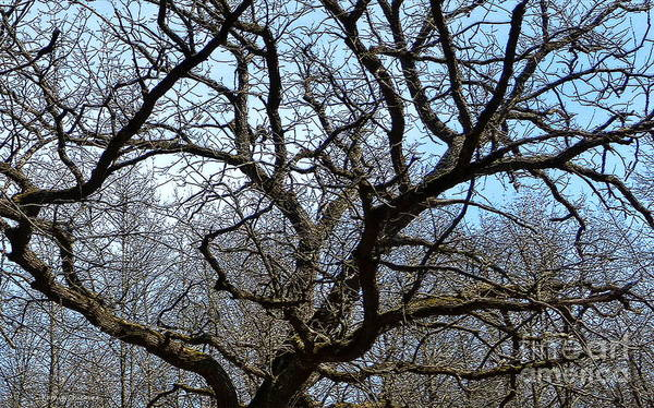 Photograph - A Tangle Of Branches by Kathie Chicoine