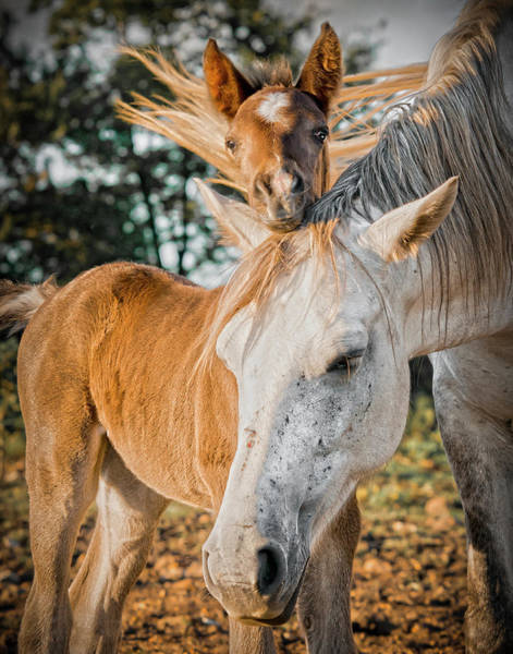 Mare And Foal Photograph - A Tender Moment by Ron  McGinnis