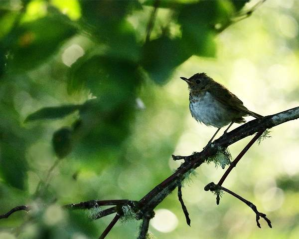 Swainsons Thrush Photograph - A Young Thrush's Magical World by I'ina Van Lawick
