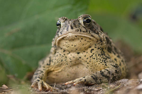 Dunbar Wall Art - Photograph - A Toad Appears To Be Frowning He Sits by Joel Sartore