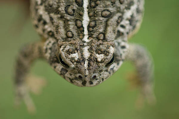 Dunbar Wall Art - Photograph - A Toad, Found By A Young Boy, Hangs by Joel Sartore