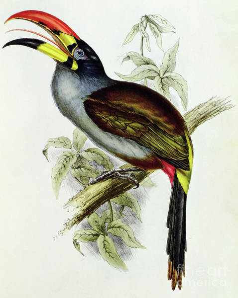 Tropical Drawing - A Toucan  Pteroglossus Hypoglaucus From Tropical Birds by John Gould
