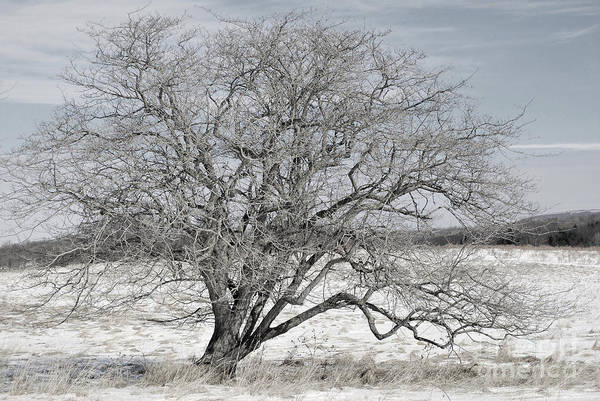 Wall Art - Photograph - A Tree In Canaan by Randy Bodkins