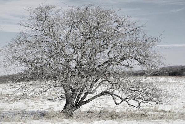 A Tree In Canaan Art Print
