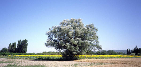 Photograph - A Tree In Provence by Frank DiMarco