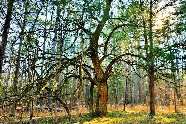 Photograph - A Tree In The Forest by Lisa Wooten