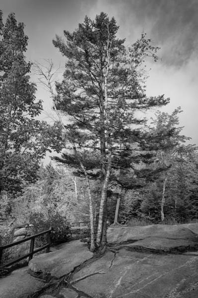 Photograph - A Tree In The Rocks by Guy Whiteley