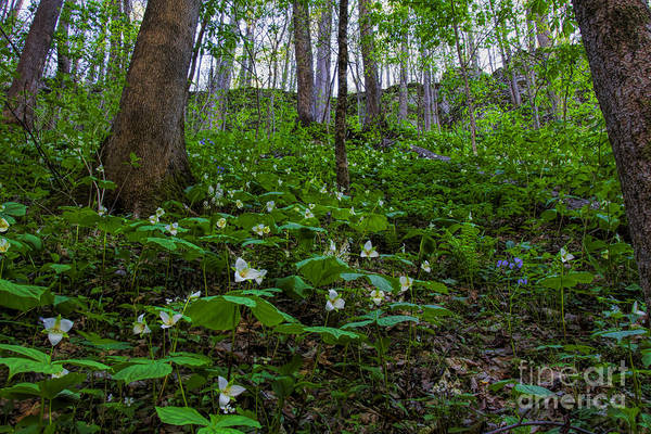 Photograph - A Trillion Trilliums by Barbara Bowen