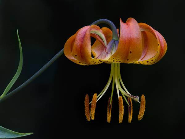Photograph - A Turks Cap Lily Lilium Martagon by Ken Barrett