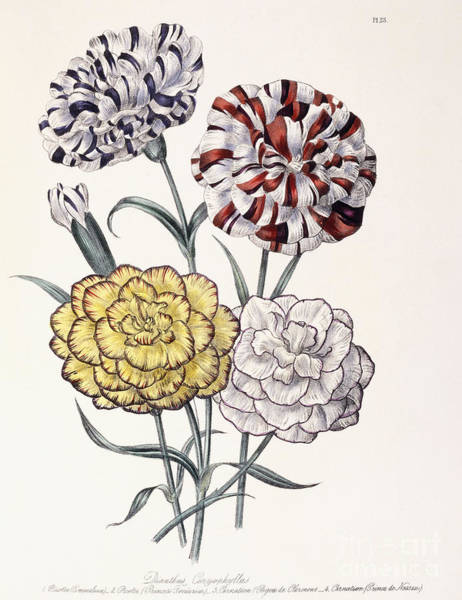Carnation Painting - A Variety Of Carnations by Jane Loudon