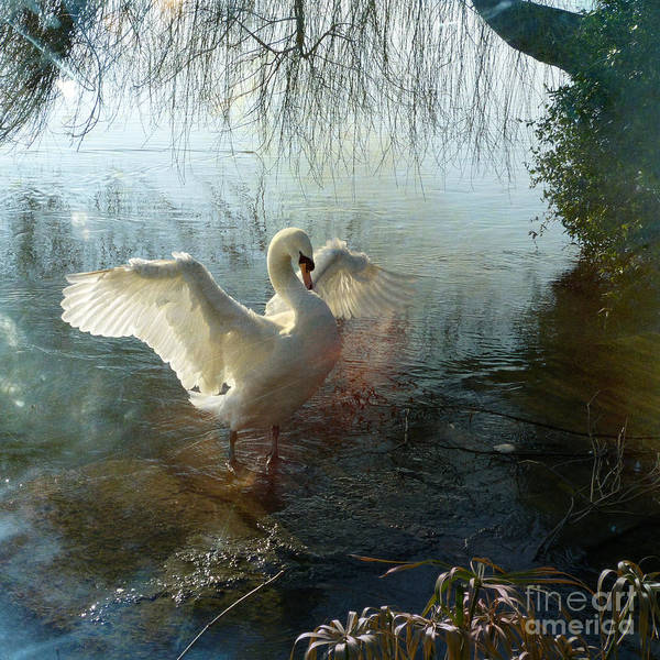 Photograph - A Very Fine Swan Indeed by LemonArt Photography