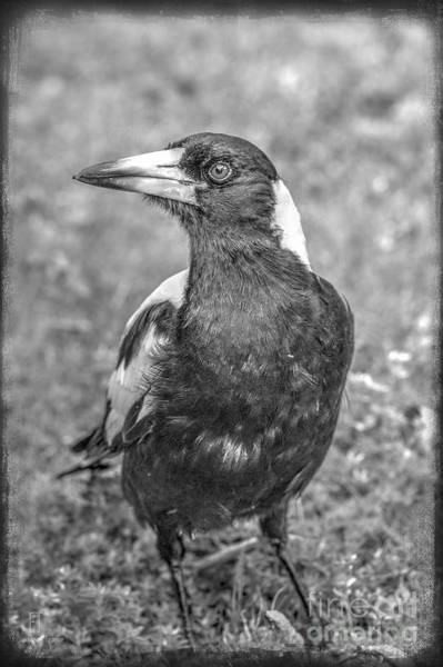 Photograph - A Very Game Magpie by Elaine Teague