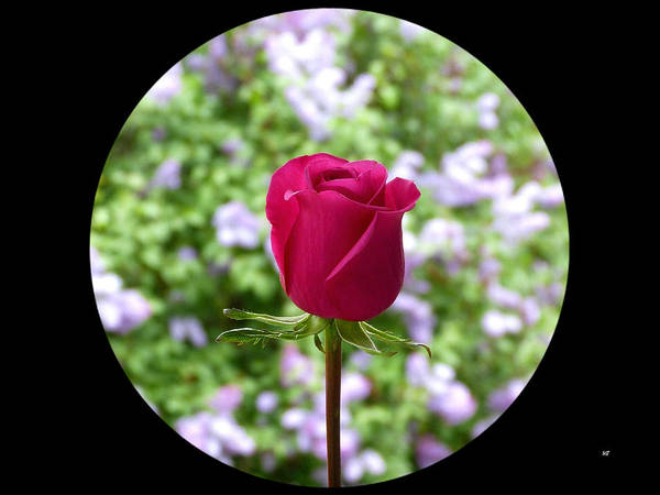 Flawless Photograph - A Very Special Rose by Will Borden