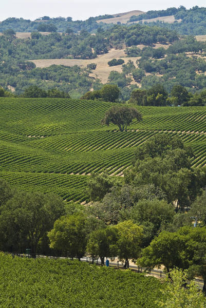 Grapevine Photograph - A Vineyard In The Anderson Valley by Richard Nowitz