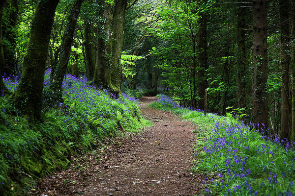 Photograph - A Walk In The Bluebell Woods by Maggie McCall