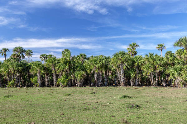 Florida Flora Photograph - A Wall Of Palms by W Chris Fooshee