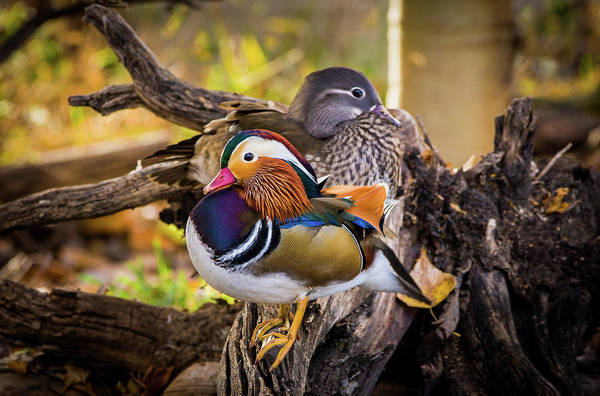 Mandarin Duck Photograph - A Watchful Eye - Mandarin Ducks by TL Mair