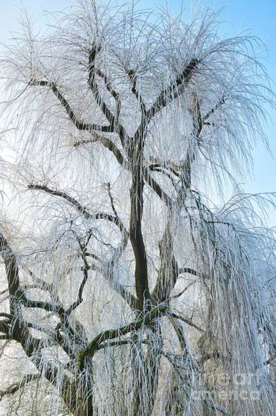 English Countryside Photograph - A Weeping Winter Willow  by Tim Gainey