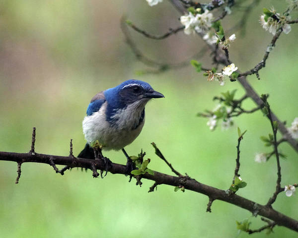 Photograph - A Western Scrub Jay In Dragonfly Forest #3 by Ben Upham III