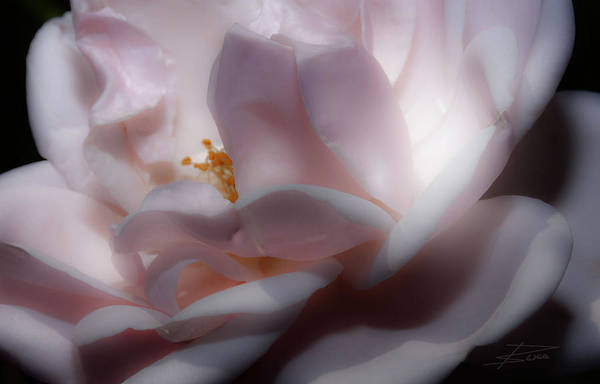 Wall Art - Photograph - A Whisper Of Pink by Barbara  White