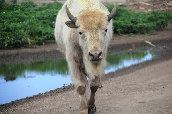 Photograph - A White Bison by Angela Murdock