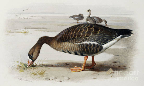 Water Fowl Painting - A White Fronted Goose by Archibald Thorburn