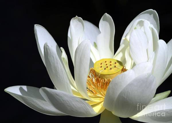 Lotus Seed Wall Art - Photograph - A White Lotus by Sabrina L Ryan
