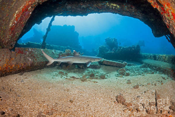 Triaenodon Obesus Photograph - A Whitetip Reef Shark  Triaenodon by Dave Fleetham