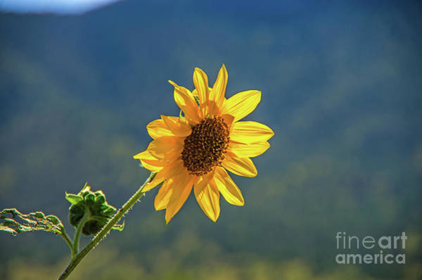 Wall Art - Photograph - A Wild Sunflower by Stephen Whalen