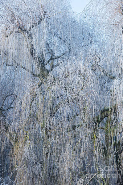 Weeping Willow Wall Art - Photograph - A Winter Willow Weeps by Tim Gainey