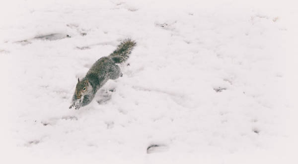 Chipmunk Photograph - A Winters Jump by Martin Newman