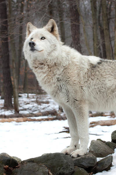 Photograph - A Wolfs Modeling Pose by Gary Slawsky
