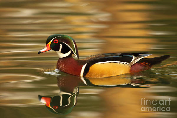 Wall Art - Photograph - A Wood Duck Drake And Reflection by Max Allen