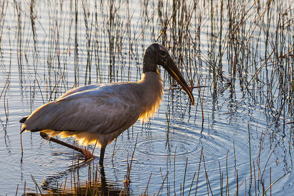 Photograph - A Wood Stork In South Florida by Ed Gleichman