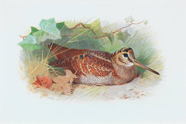 Wall Art - Painting - A Woodcock Resting by Archibald Thorburn