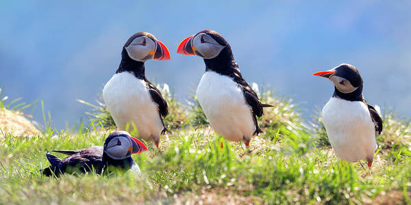 Two Birds Photograph - A World Of Puffins by Betsy Knapp