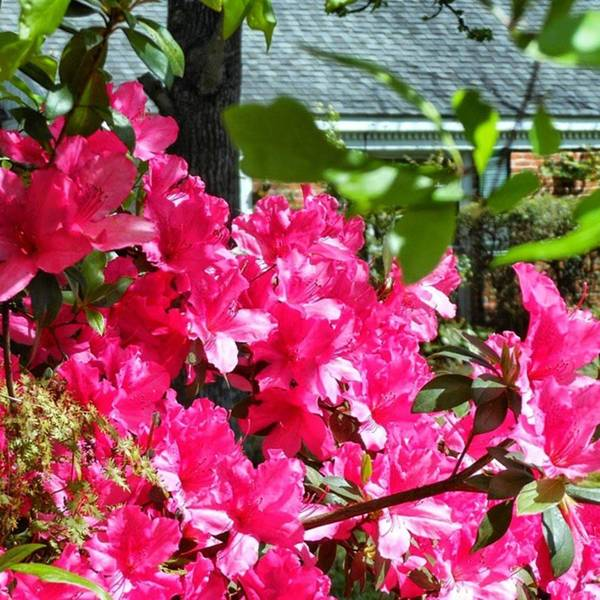 Photograph - A Yard In Hot Spring Pink! ^.^* by Cheray Dillon