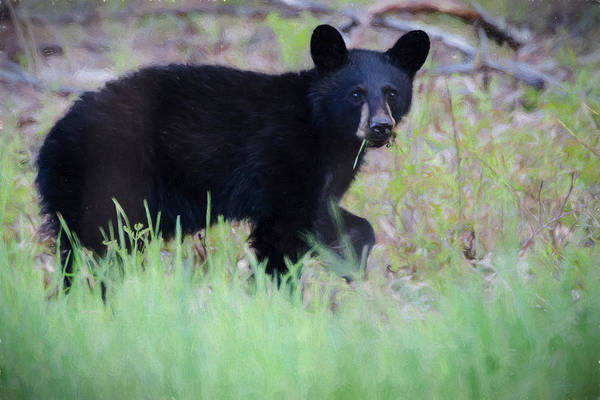 Photograph - A Young Black Bear Feeding Alone. by Rusty R Smith