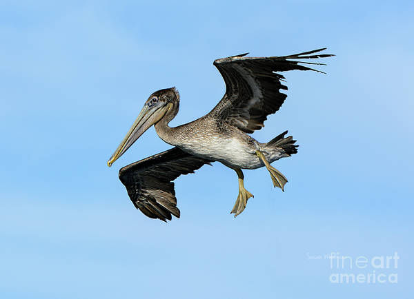 Photograph - A Young Brown Pelican Flying by Susan Wiedmann