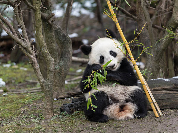 Wildlife Er Photograph - A Young Giant Panda Sitting And Eating Bamboo by Stefan Rotter
