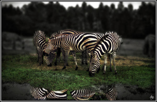Photograph - A Zeal Of Zebras by Wayne King