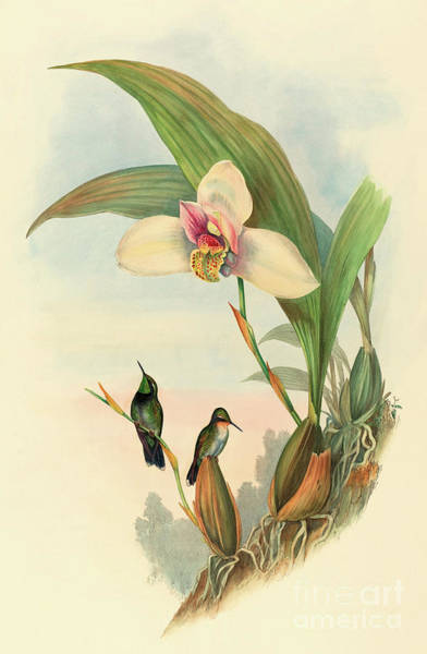 Wall Art - Painting - Abeille's Hummingbird by John Gould