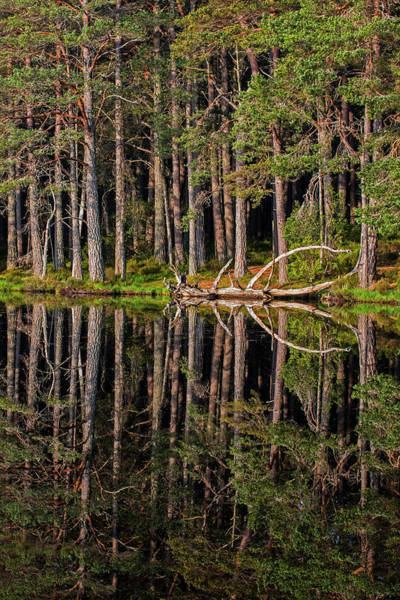Photograph - Abernethy Forest by Arterra Picture Library