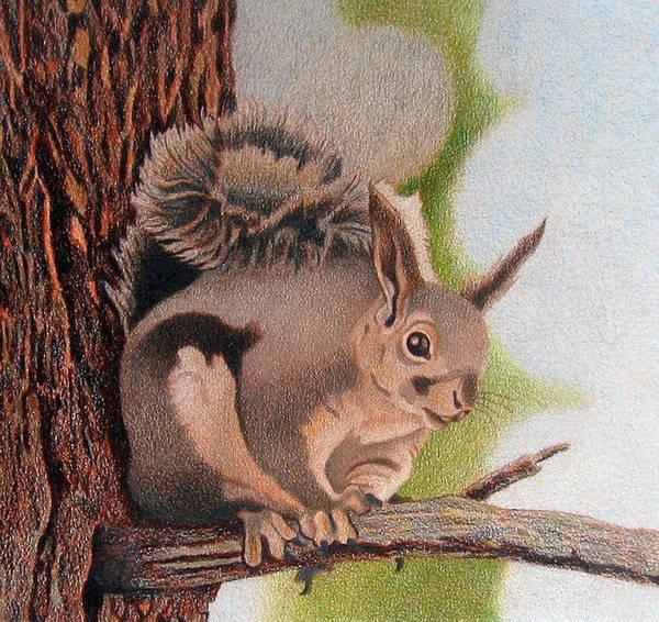 Drawing - Abert's Squirrel by Dan Miller