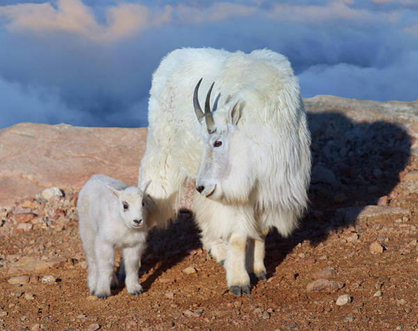 Goat Rocks Wilderness Photograph - Above The Clouds. Mother And Kid - A Young Rocky Mountain Goat Stands Inquisitively Next To Its Mom by OLena Art Brand